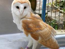 Barn Owl Trust Ivy