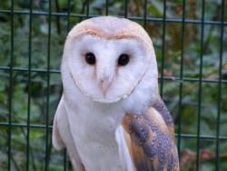 Barn Owl Trust Rose