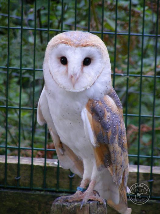 Barn Owl Trust Rose
