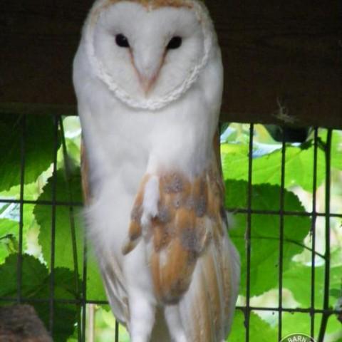 Barn Owl Trust Tom