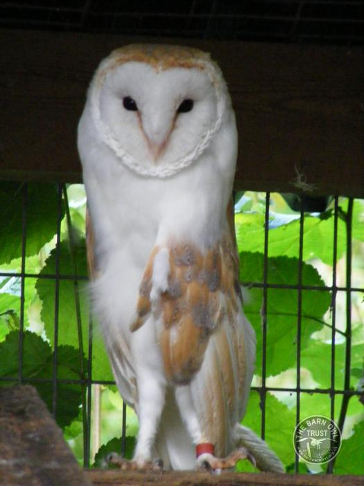 Barn Owl Trust Tom