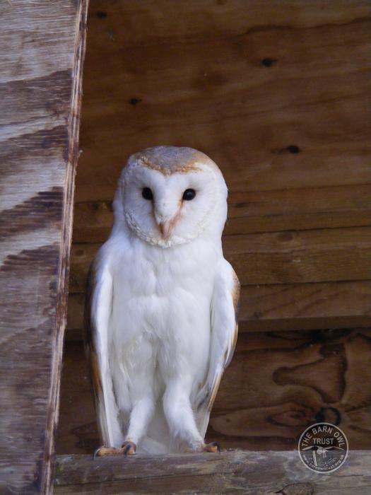 Barn Owl Trust Vinny The Barn Owl Trust