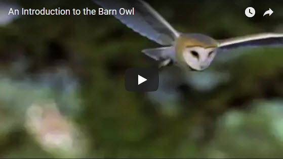Barn Owl Intro Video