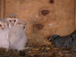 Barn Owl Nestlings 05 Kevin Keatley