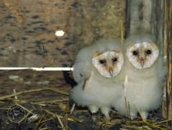 Barn Owl Nestlings 07 Helier Mason