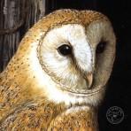 Barn Owl Painting Art Dick Twinney