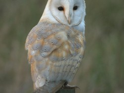 Barn Owl Perched Day Nick Sampford