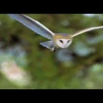 Barn Owl Trust Video