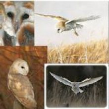 Barn Owl Greeting Cards & Postcards
