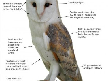 Facts Adaptations Diagram The Barn Owl Trust