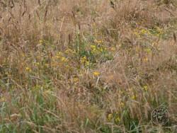 Flowers Of Rough Grassland Birds Foot Trefoil