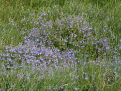 Flowers Of Rough Grassland Germander Speedwell 2