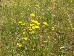 Flowers Of Rough Grassland Hawkbit 2