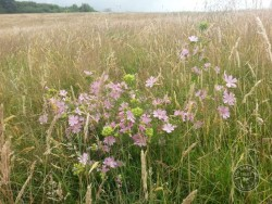 Flowers Of Rough Grassland Mallow