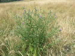 Flowers Of Rough Grassland Spear Thistle