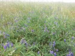 Flowers Of Rough Grassland Tufted Vetch