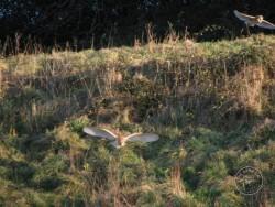 Good Barn Owl Habitat