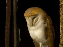 Barn Owl Roosting Russell Savory Barn Owl photos