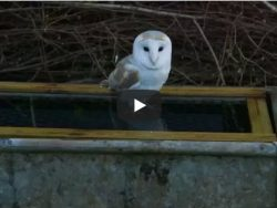 How To Prevent Owls Drowning Video