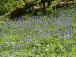 Lennon Legacy Project Wildflowers Bluebell