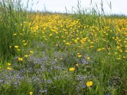 Lennon Legacy Project Wildflowers Buttercup Germander Speedwell