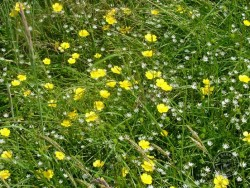 Lennon Legacy Project Wildflowers Buttercup Lesser Stitchwort