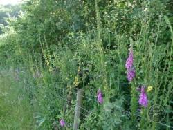Lennon Legacy Project Wildflowers Dark Mullein Foxglove