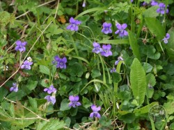 Lennon Legacy Project Wildflowers Dog Violet
