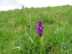 Lennon Legacy Project Wildflowers Early Purple Orchid 2