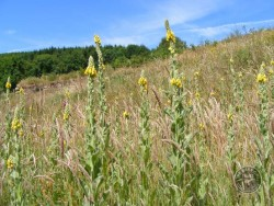 Lennon Legacy Project Wildflowers Great Mullein