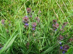 Lennon Legacy Project Wildflowers Ground Ivy