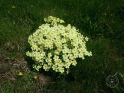 Lennon Legacy Project wildflowers - Common Primrose