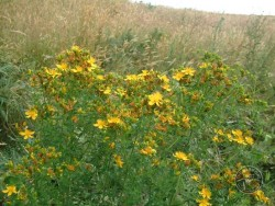 Lennon Legacy Project Wildflowers St Johns Wort