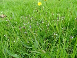 Lennon Legacy Project Wildflowers Thyme Leaved Speedwell