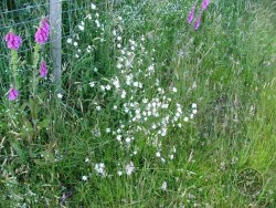 Lennon Legacy Project Wildflowers White Campion
