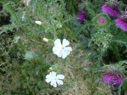 Lennon Legacy Project Wildflowers White Campion Musk Thistle
