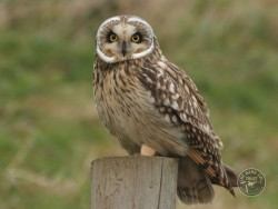 Owl Identification Short Eared Owl