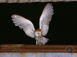 Owl Ringing BTO Adult Kevin Keatley