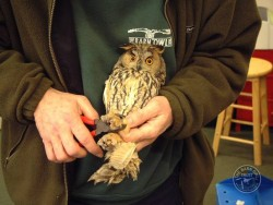 Owl Ringing BTO Long Eared Owl