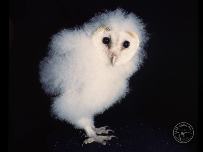 Barn Owl Owlet The Barn Owl Trust