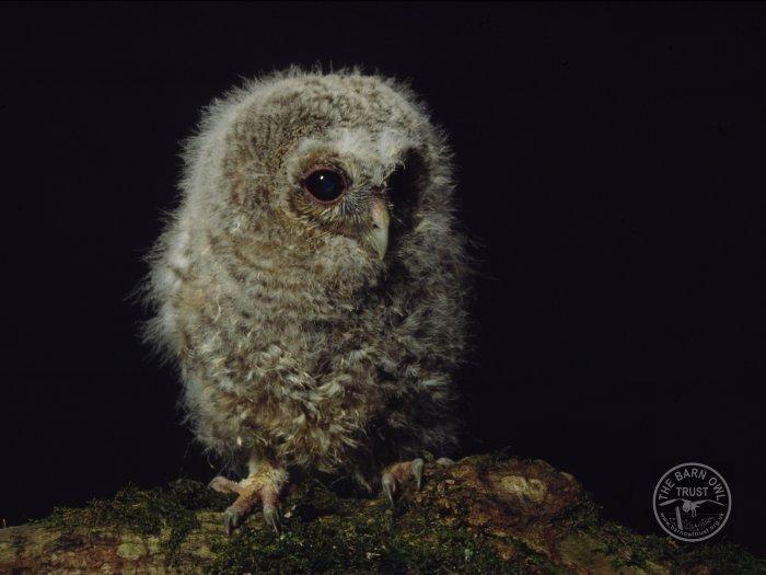 tawny owl owlet the barn owl trust