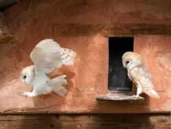 Owls In Barn Owl Trust Sanctuary 04 Sebastian Bevan