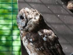 Owls In Barn Owl Trust Sanctuary 06 Sebastian Bevan