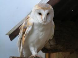 Owls In Barn Owl Trust Sanctuary 07