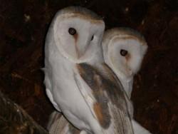Owls In Barn Owl Trust Sanctuary 08