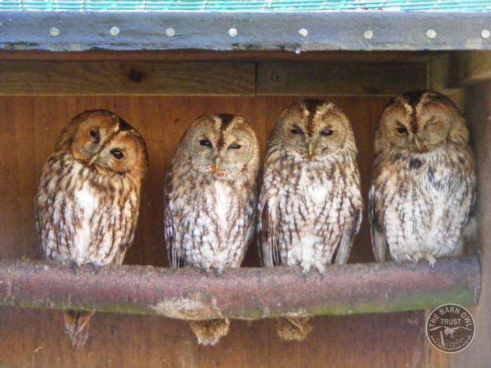 Tawny Owls In The Barn Owl Trust Sanctuary The Barn Owl
