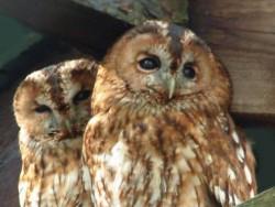 Owls In Barn Owl Trust Sanctuary 11