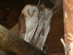 Owls In Barn Owl Trust Sanctuary 12