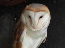 Owls In Barn Owl Trust Sanctuary 15