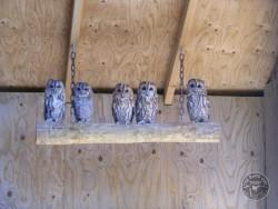 Owls In Barn Owl Trust Sanctuary 17